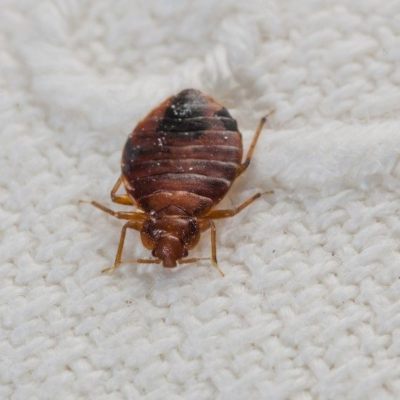 Bed Bugs, Pest Control in Plumstead, SE18. Call Now! 020 8166 9746
