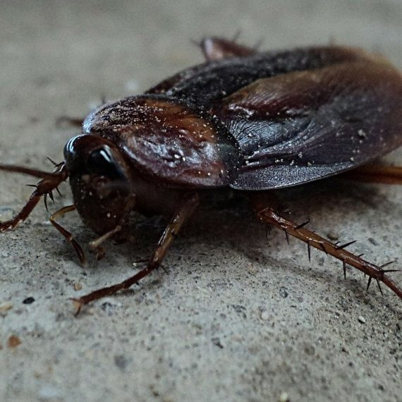 Cockroaches, Pest Control in Plumstead, SE18. Call Now! 020 8166 9746