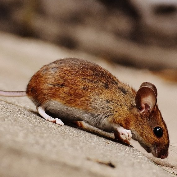 Mice, Pest Control in Plumstead, SE18. Call Now! 020 8166 9746