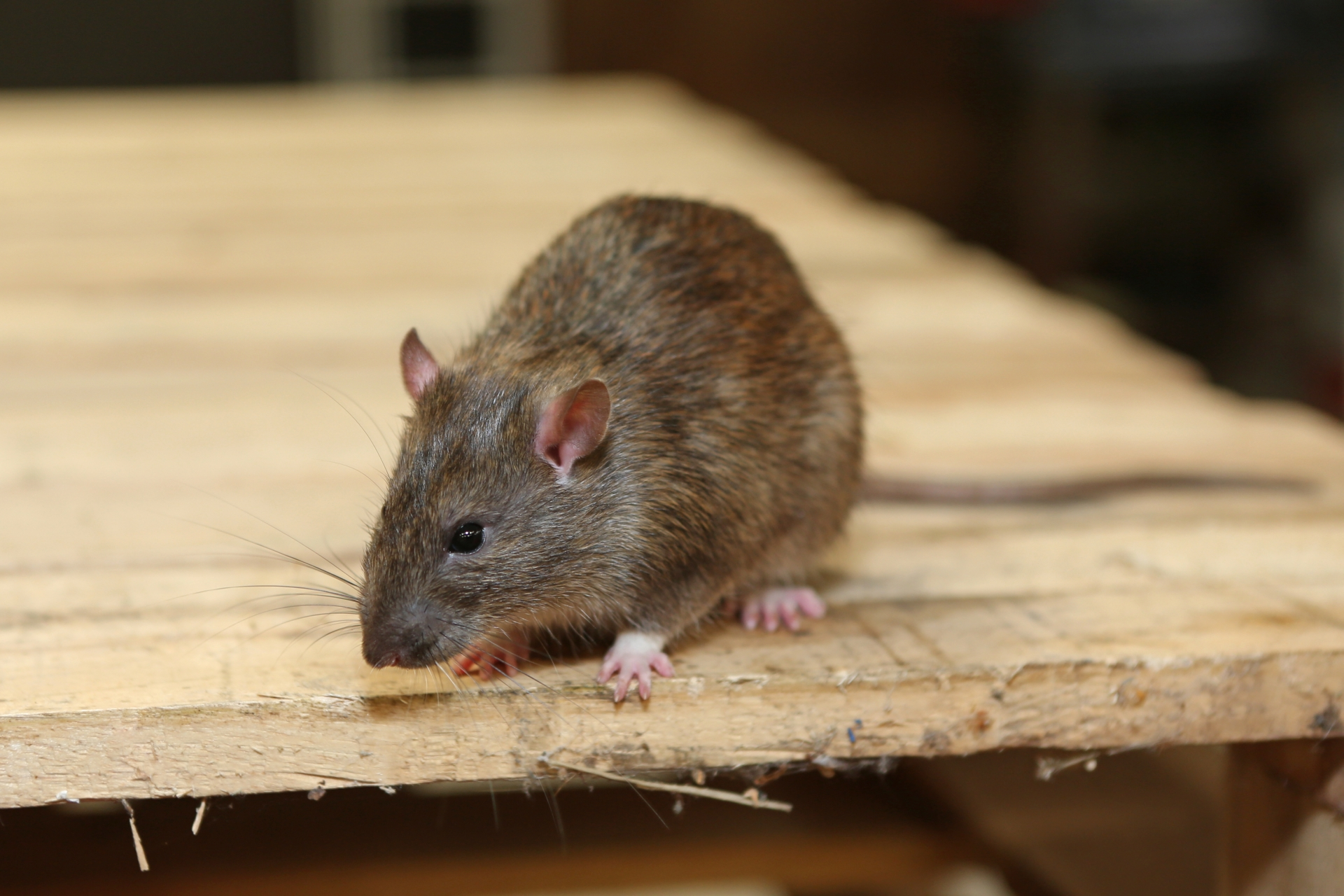 Rat Infestation, Pest Control in Plumstead, SE18. Call Now 020 8166 9746