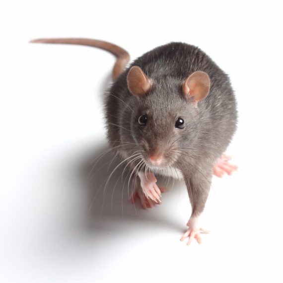 Rats, Pest Control in Plumstead, SE18. Call Now! 020 8166 9746