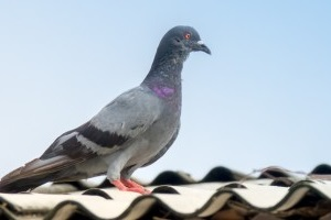 Pigeon Control, Pest Control in Plumstead, SE18. Call Now 020 8166 9746